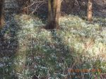 Chicksands Snowdrop Trail